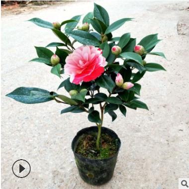 山茶花批发 五色香妃盆栽 室内庭院种植云南茶花树苗 带花苞发货