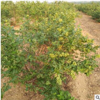 兔眼蓝莓苗品种齐全量大优惠地栽蓝莓树苗可南北方种植蓝莓树苗