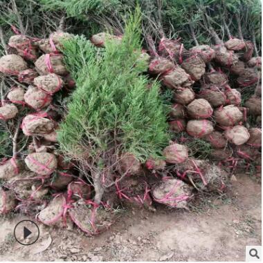 黑松油松规格齐全外形漂亮可观赏性高松树绿化工程树货源充足松树