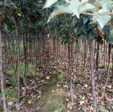 基地直销2公分苹果树苗 红肉苹果树苗 红富士苹果树苗3公分苹果苗