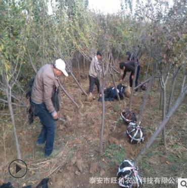 基地直销6公分樱花树 高杆樱花树