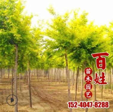 园林景观苗木黄金槐树苗 市政绿化工程观赏树苗 庭院道路行道树