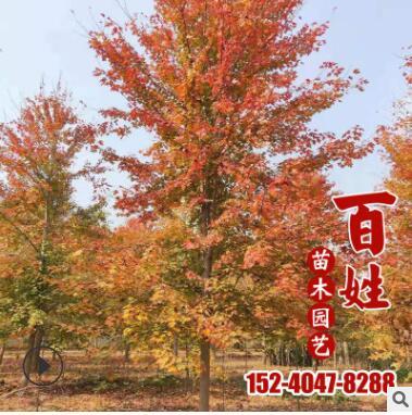 供应庭院盆栽绿化苗木观赏美国红枫树苗工程绿化苗木行道观赏乔木