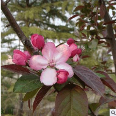 长期供应 北美海棠批发零售绿化苗基地直销精品海棠树 行道树