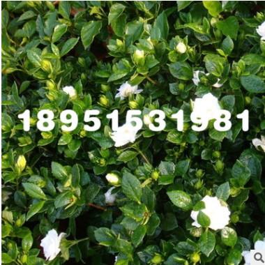 批发盆栽花卉栀子花苗 栀子花盆栽 栀子花三年苗当年开花量大优惠