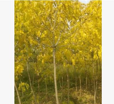 金叶复叶槭苗,糖槭苗,复叶槭小苗。