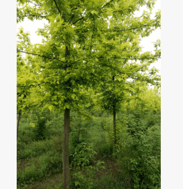 金叶复叶槭叶色三季金黄 新品种彩叶树