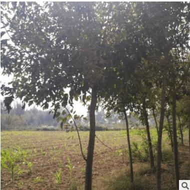 金叶复叶槭 金叶植物 新优品种 规格齐全