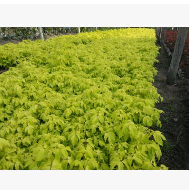 金叶复叶槭丛生 根系好成活率高