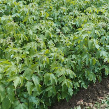 金叶复叶槭基地 供应 嫁接复叶槭 糖槭籽批发