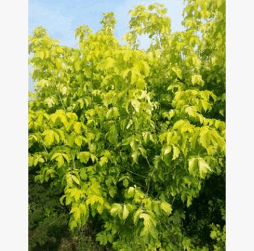 金叶复叶槭价格 金叶复叶槭批发