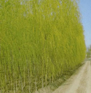 基地大量批发金叶复叶槭小苗