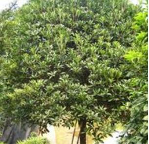 沭阳火炬树报价米径3-10公分火炬树多少钱