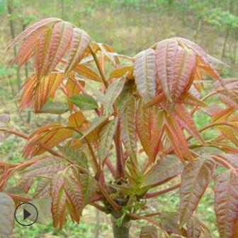 供应优质香椿苗 2公分优质红油香春树苗现挖现卖包成活香椿叶小苗