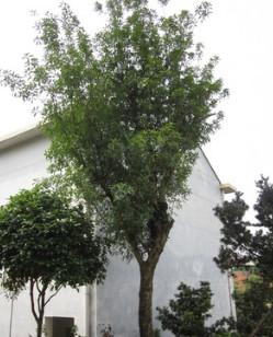 供应30公分移栽椤木石楠,椤木石楠树,椤木石楠桩景。