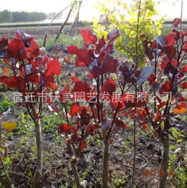 供应1-5公分各种规格的 红杨 红叶杨 中红杨 彩叶杨 量大优惠