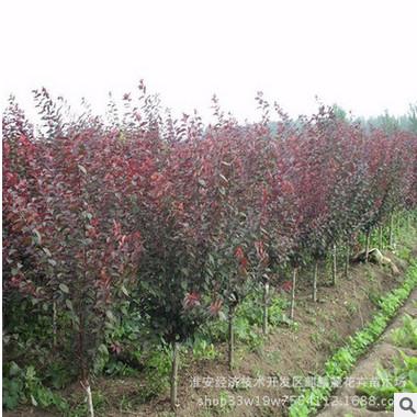 批发工程绿化苗木庭院绿植花卉美人梅 观花植物 量大从优