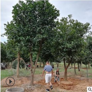 批发香泡柚子树 供应园林工程绿化苗木精品常绿乔木 苗圃基地直销