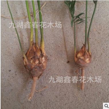 小铁树苗批发 多年生苏铁种苗3-4公分小铁树头庭院树苗 热销盆栽