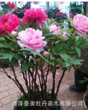 批发 盆栽牡丹 万世生色 粉色系 保质量 保成活 颜色鲜艳 欢迎订
