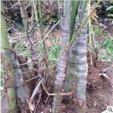 批发 罗汉竹 竹子苗 庭院绿化 观赏 园林工程量大从优