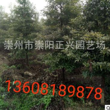 基地直销正宗的小叶金丝楠木树、小叶桢楠、欢迎实地考察