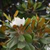 基地直销玉兰树供应规格多样 带土球发货庭院观花植物玉兰树