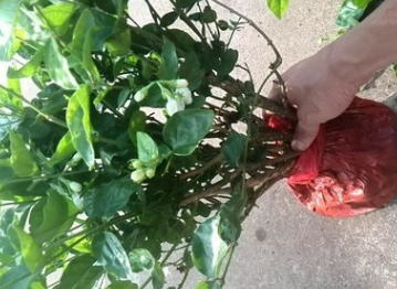 成都大量批发各规格茉莉花及其他苗木品种,价格优惠,品种齐全