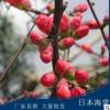 供应各种工程绿化 大量批发优质日本海棠4年苗