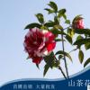 供应各种工程绿化 大量批发优质茶花苗 山茶花
