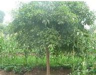 黄葛树供应/黄葛树图片