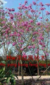 扬红风铃木,落叶开花,适合行道庭院广场公园小区农庄园林绿化。