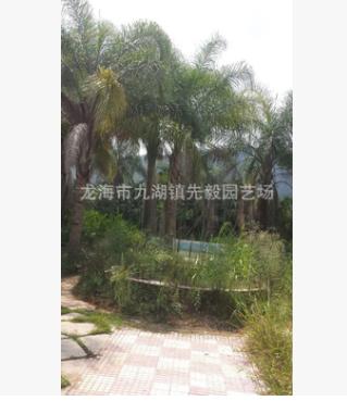 供应 皇后葵 (金山葵)米径20cm 30cm 40cm 地苗