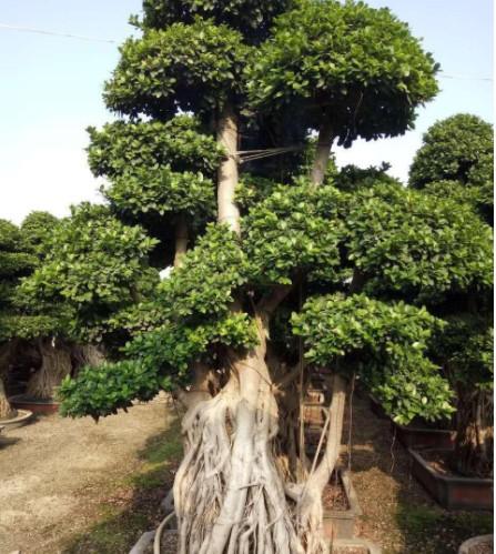 微型盆景小榕树