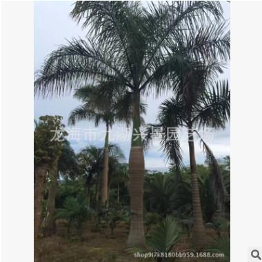 福建大王椰子 杆高1~6m 头径25~50cm 大王椰子报价 大王椰子价格