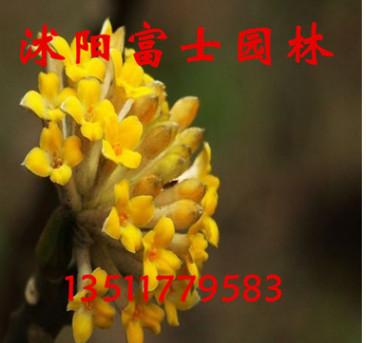 观花植物 结香花苗 带有浓郁的香气 当年开花 大小齐全 易成活
