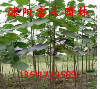 绿化苗木批发法国梧桐树绿化乔木梧桐树苗 品种多样规格齐全