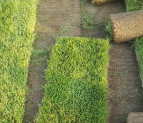 绿化专用早熟禾草坪