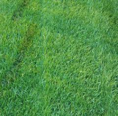 带泥土草皮 早熟禾草坪