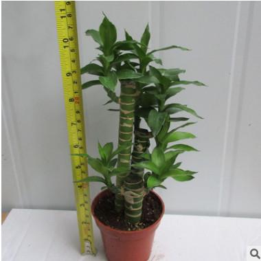 观叶植物小盆栽 适合办公环境布(90)步步高
