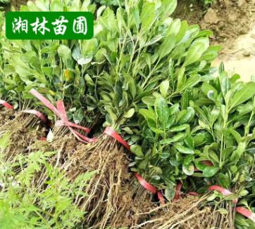 批苗圃直销海棠小苗 根系发达 苗圃直销海桐小苗
