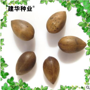 大量出售 正宗园林绿化楠树种子 小叶桢楠种子常绿绿化楠木种子