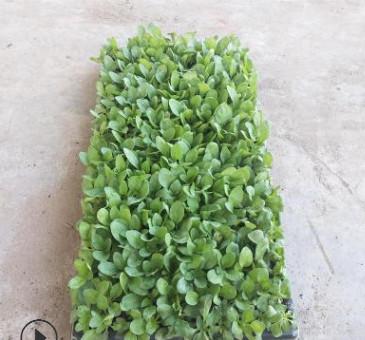 矮牵牛种苗盆栽花卉室内庭院阳台四季开花植物多年生草本植物好养