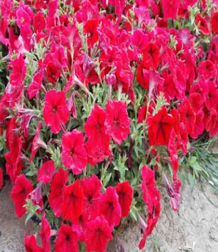 批发花卉种 矮牵牛 园艺花卉 阳台盆栽 庭院景观 量大优惠