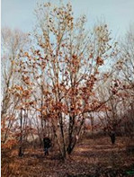蒙古栎,2018年丛生蒙古栎,丛生蒙古栎价格,丛生蒙古栎供应