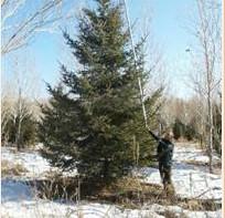 云杉价格,2015年云杉价格,高度4米-5米-6米云杉价格