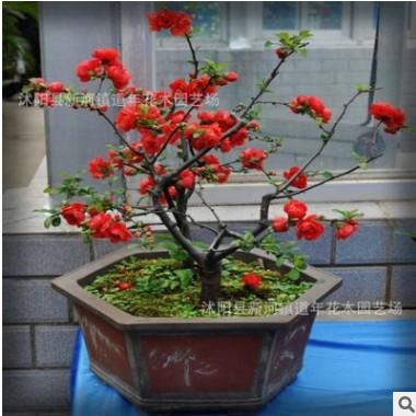 批发日本海棠盆栽 盆栽花卉 室内植物 观花植物 包成活 花卉