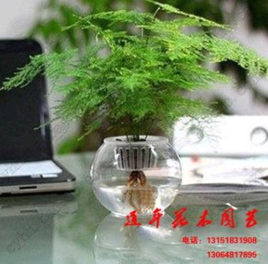 【文竹】绿色有效防幅射