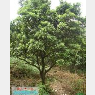 杨梅:杨梅价格杨梅生产基地供应精品杨梅当前市场行情好
