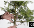 直干型盆景造型方法 大树型盆景制作 盆景入门 (153播放)